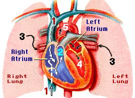 Organ System A group of organs that work together to perform a complex function Organism A living thing.