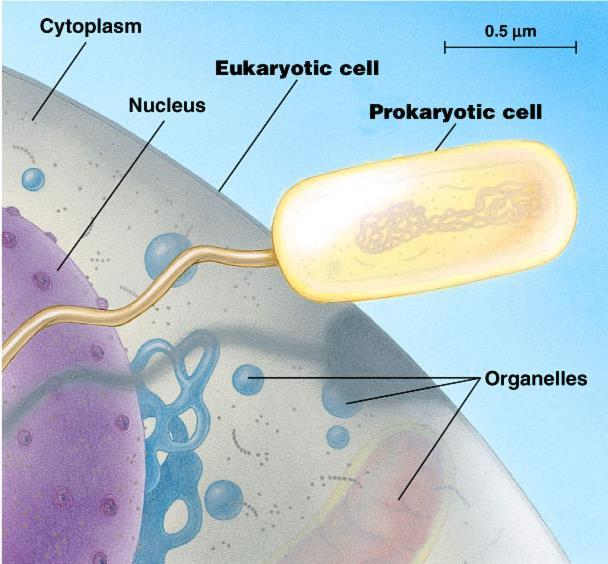 Cell size comparison Animal cell Bacterial cell most bacteria 1-10 microns eukaryotic cells