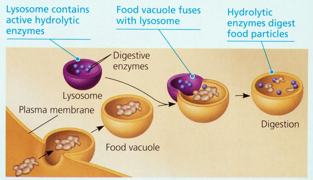 Lysosomes (the little garbage disposals) Lysosomes are small organelles filled with