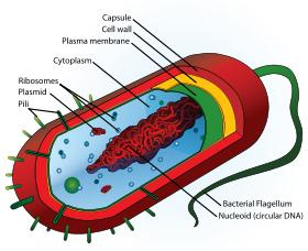 Prokaryotes Smaller and simpler than eukaryotes. Contain cell membranes and cytoplasm.