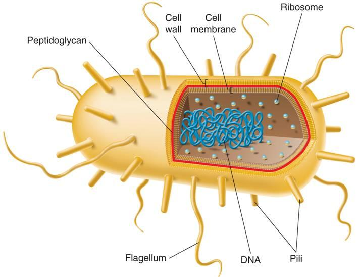 E. coli, a typical Eubacterium Cell Wall Cell Membrane