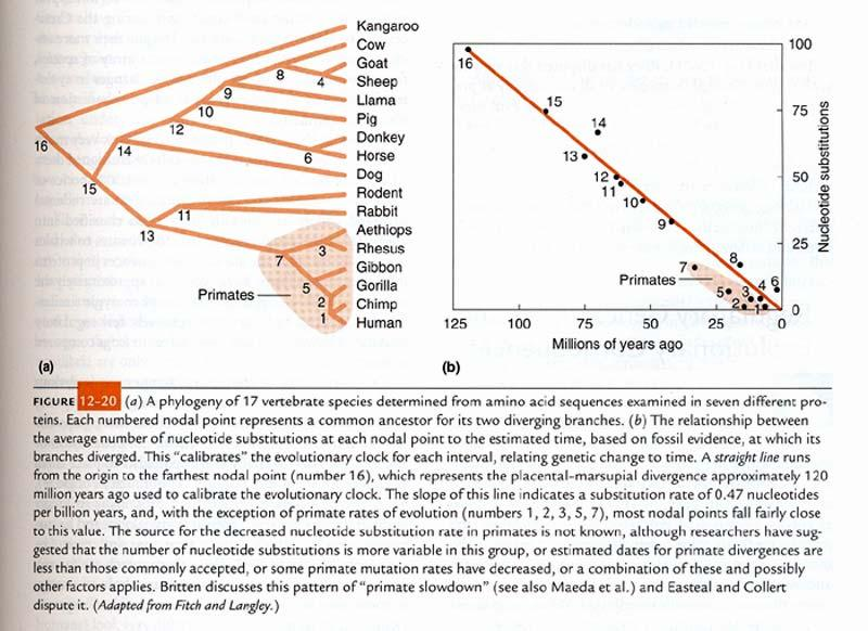 The number of nucleotide substitutions that occurred over a given length of time was compared among the 17 taxa.