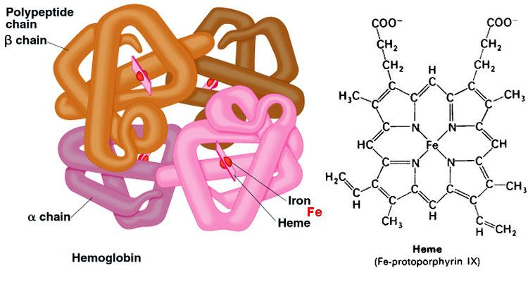Found in animals (hemoglobin-like molecules are also found in plants, fungi, and invertebrates). The conserved nature of this molecule implies an early place in evolution.