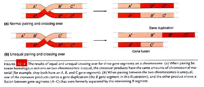 How do gene duplications arise? Unequal crossing over that results in increased chromosome material.