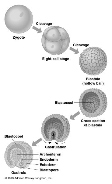 understanding of the mechanisms of animal development. After several stages of cleavage, a hollow ball of cells called a blastula is formed.