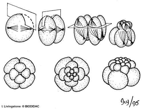 Radial cleavage: Each mitotic division occurs parallel or at right angles to the polar axis of the embryo; cells of each layer are arranged directly above each other.