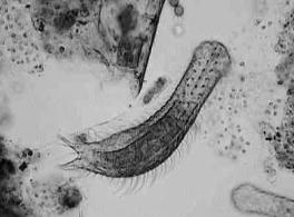 NEMATODA: roundworms Up to