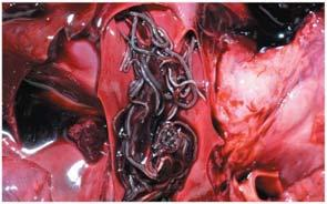 WORMS: Heartworms, hookworms Kingdom: Animalia Phylum: Nematoda Have complete digestive tracts (digestive anterior,