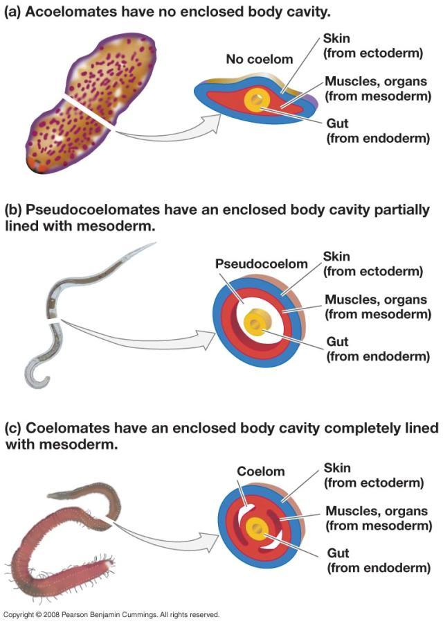 Evolution of the Body Cavity Coelom Creates internal chamber for nutrient & O 2 circulation Allows