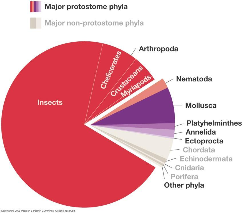 Most Animals are Protostomes Arthropoda