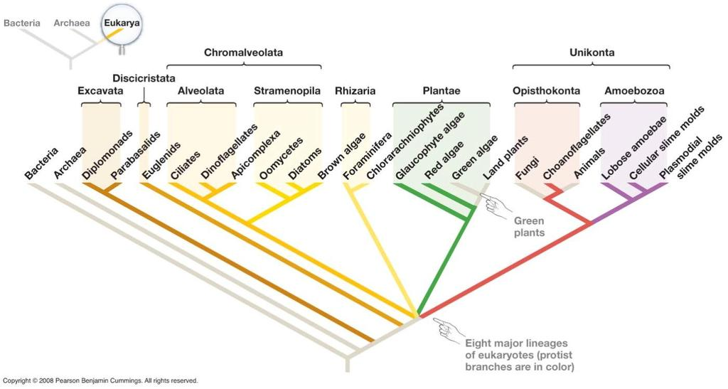 Phylogeny of Eukarya & Protists Based on a few important