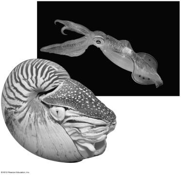 Octopuses live on the seafloor, where they creep about as active predators. A chambered nautilus (about 21 cm in diameter) 18.10 Annelids are segmented worms 18.