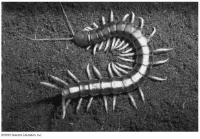Centipedes are carnivores that have one pair of legs per body segment. Figure 18.11E 18.