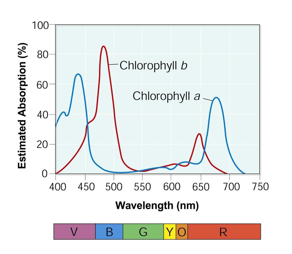 Estimated Absorption (%) 8-2 Photosynthesis: An Overview Light and Pigments Chlorophyll absorbs blue-violet and red regions of the visible spectrum.