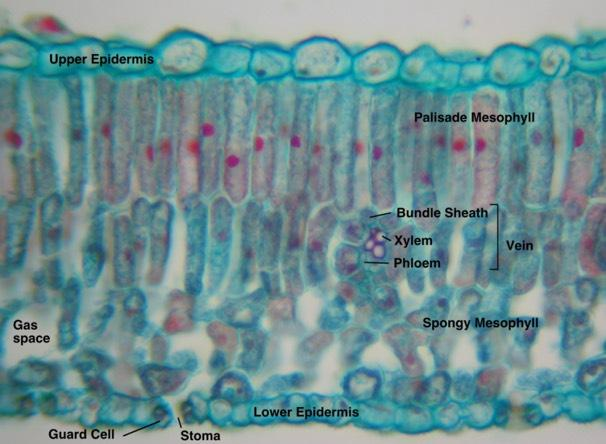 Dermal Tissue Forms outermost layer of a plant.