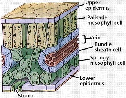 The Leaf Chloroplasts in the leaf cells have chlorophyll, a green pigment that