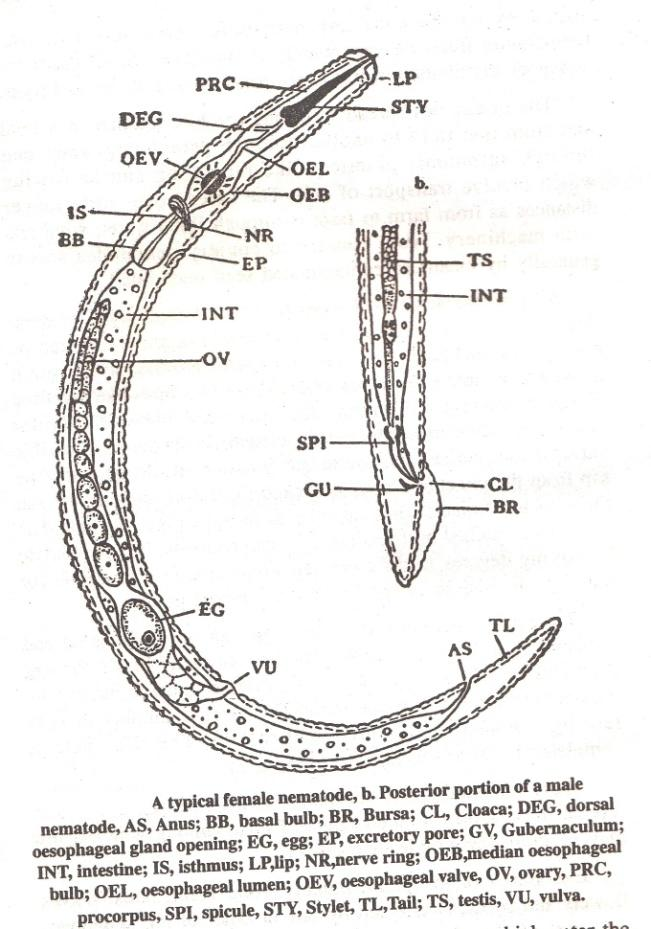 125 Tail: Present in male, female and larva. Tail vary in shape and size.