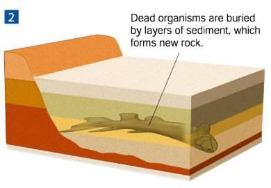 How Fossils Form Dead organisms are buried by