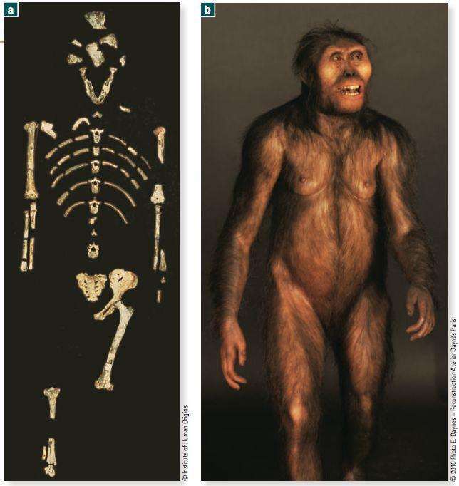 2. Early hominins Australopiths (4.2-1.