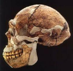 "General morphology of Homo erectus 23 Body size -adults weigh more than 110 pounds -average height 5'6"" Brain"