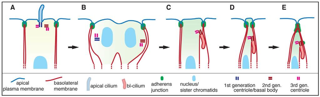 104 Development 139 (1) Fig. 8. Bl-cilia and neural progenitor delamination. Cartoon illustrating the formation of a bl-cilium after AP mitosis, which precedes apical constriction and delamination.