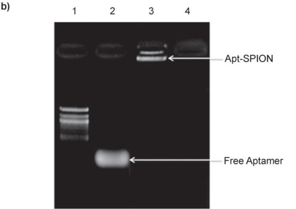 TCL-SPION Apt bioconjugate formation by gel electrophoresis (1. 100- bp ladder; 2.