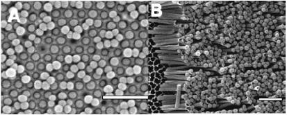 Figure 1.7 SEM images of (a) template embedded and (b) liberated corked nanotest tubes.