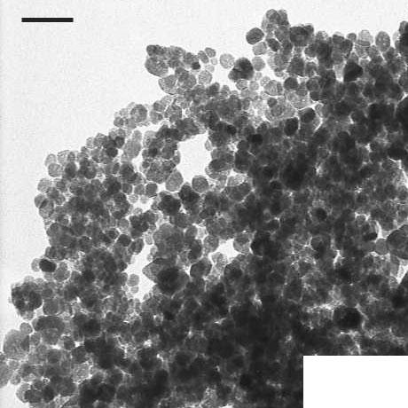 The difference in nanoparticle size between SPIONs formed in bulk and the SPIONs formed within MNTs indicates that the nucleation and growth processes of nanoparticles in the nanotubes might be