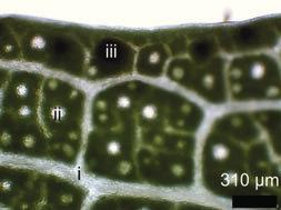 910 Dirk Hölscher et al. (LDI-MSI) to study highly localized UV-absorbing secondary metabolites in plant tissues.