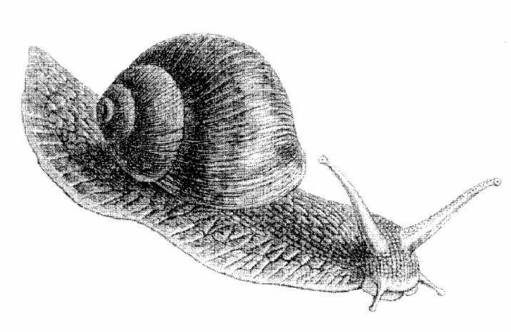 Class Gastropods: The Snails 1. Level of organization? organ 2. Type of symmetry? Bilateral 3. Type of digestive system (none, complete or incomplete)?