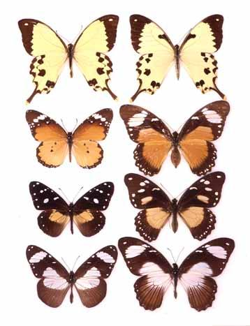 photo Erick Greene Sex-limited Batesian mimicry in Papilio dardanus Evolutionary consequences of predation What are the various adaptations that