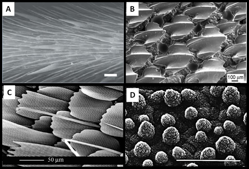 Figure 3-2: SEM images of (A) water strider leg[32], (B) shark skin[30], (C) butterfly wing[33], and (D) lotus leaf [34].