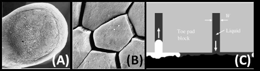 Figure 3-5: SEM image of toe of a three frog (A and B), and capillarity assisted mechanism of adhesion utilized by tree frogs[27].