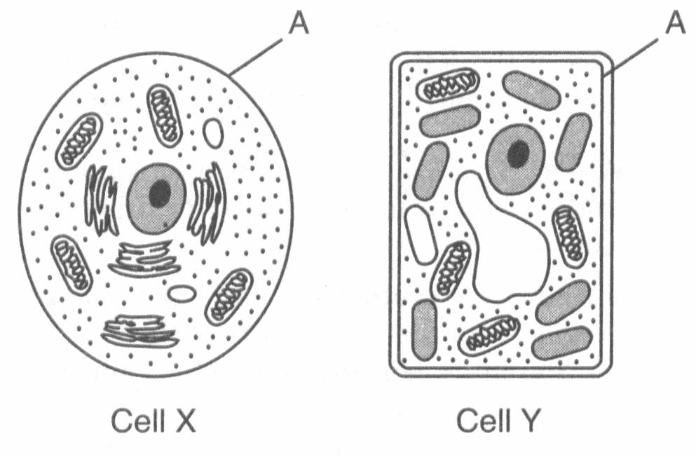30. Which cell structure contains information needed for protein synthesis? A) 1 B) 2 C) 3 D) 4 31. What organelle releases energy for metabolic activity in cells?