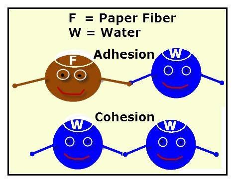 Liquids: Cohesion & Adhesion Cohesion between a and.