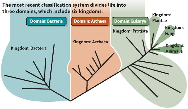The three domains in the tree of life are Bacteria, Archaea, and Eukarya. Domains are above the kingdom level.