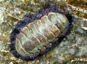 Class Polyplacophora: Chitons
