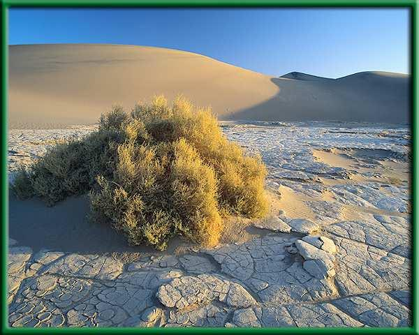Life in the desert With rainfall as the major limiting factor, vegetation in deserts varies greatly. The driest deserts are drifting sand dunes.