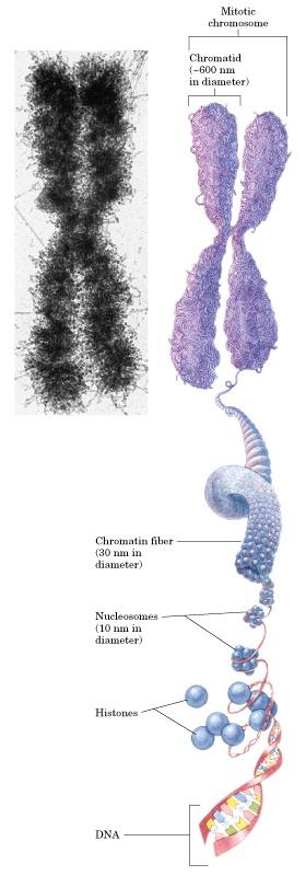 Nucleus Chromosomes = 2 chromatids Eukaryotic Cell Chromatin mass = 50%