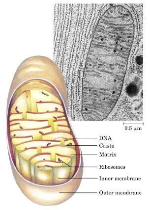 Mitochondria Eukaryotic Cell Diameter of ~1 µm (bacterial cells) 100s-1000 per cell Metabolic cells have more mitochondria