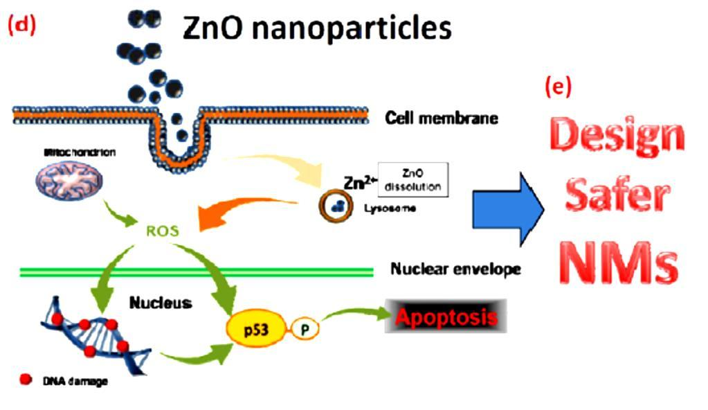 Fig 2. Studying the cytotoxicity of ZnO nanoparticles and through the knowledge design safer nanoparticles. [7] Referernces 1. S.J. Xiong, X.X. Zhao, B.C. Heng, K.W. Ng, S.C.J. Loo, Biotechnology Journal 6, 501 (2011).
