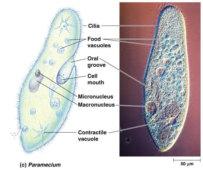 Topic: Protista Objective: Describe and define the eukaryotic Kingdom.