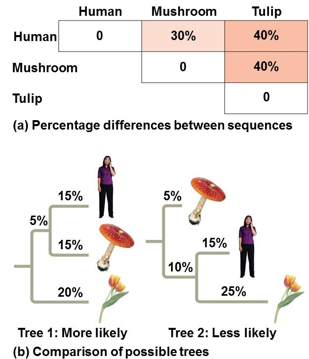Reconstructing Phylogenies Based on the percentage differences between gene sequences in a human, a mushroom, and a tulip two different