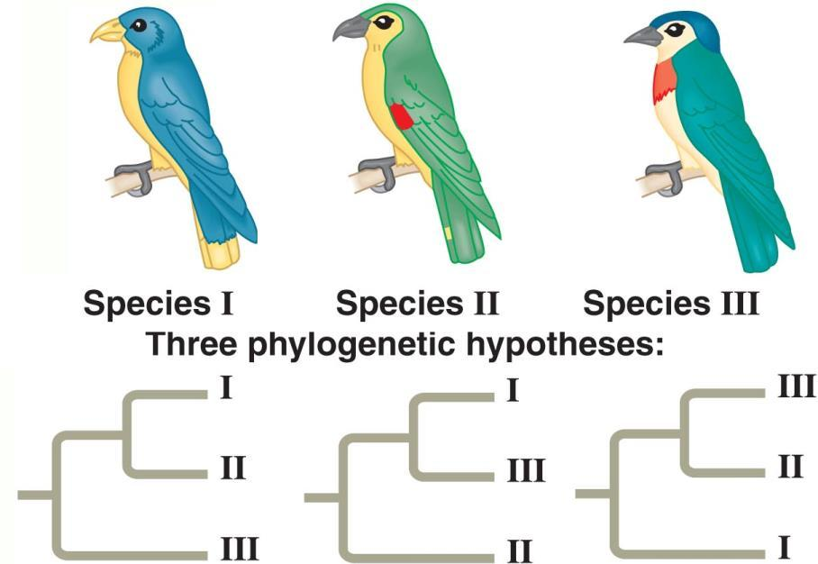Phylogenetic Trees Phylogenies are based on Morphology and the fossil record Embryology DNA, RNA, and protein similarities Phylogeny is the study of the evolutionary relationships