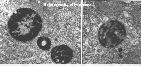 Organelles: Lysosomes Structure found only in animal cells sac-like