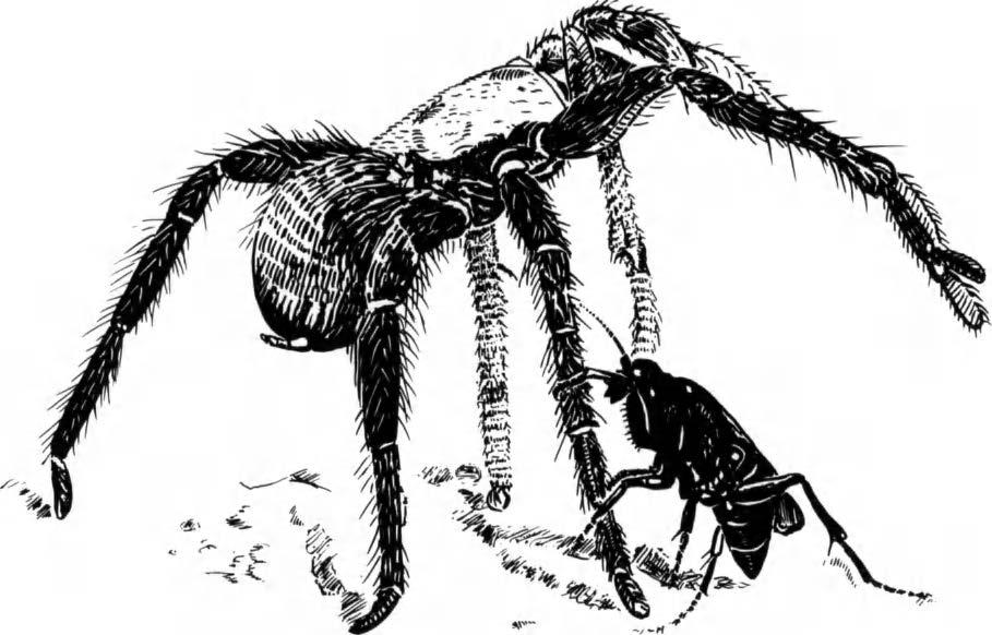 4. Stinging Behaviour of Solitary Wasps 83 Fig. 3 Hemipepsis ustulata ochroptera (Pompilidae, Pepsinae) attempting to climb up a leg of a tarantula before stinging. Redrawn from Williams (1956).