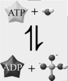 The ADP- Cycle The reverse of the
