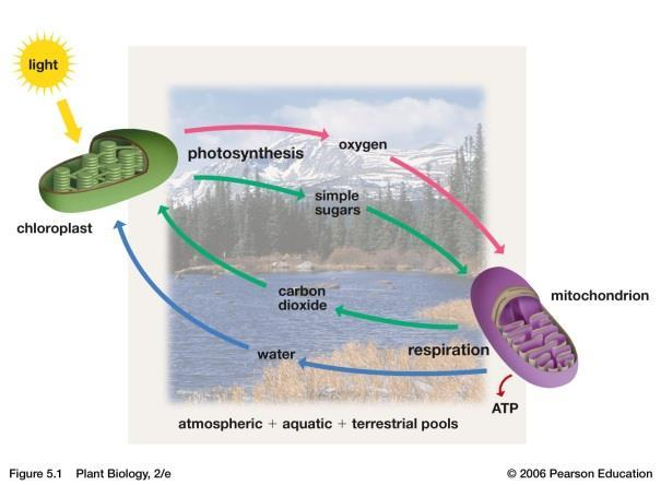Chapter 5-Photosynthesis Photosynthesis is the main route by which that energy enters the biosphere of the Earth.