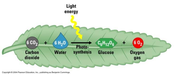 Photosynthesis- The production of organic food from inorganic molecules (CO 2 and H 2 O), with the use of light energy.