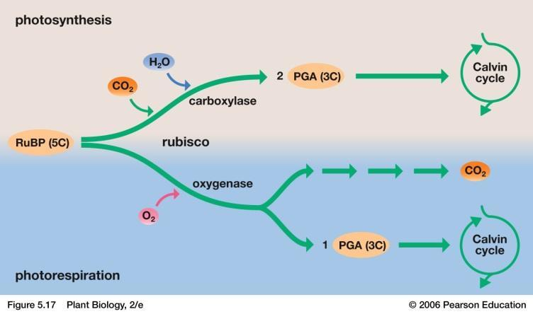 Photorespiration Photorespiration occurs in C3 plants during